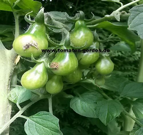 Tomate Gelbes Birnchen (yellow pear)